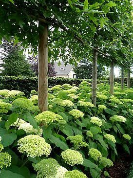Image result for tree lined driveway with under planted hydrangeas