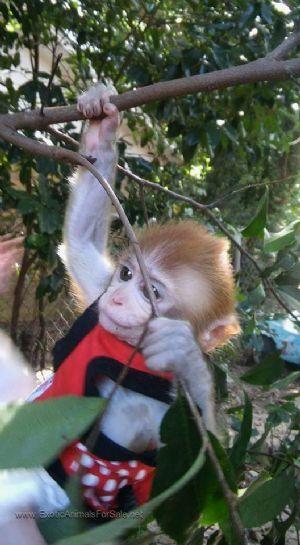 Best 25+ Pet monkey fo...
