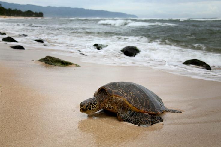 Best 20 Turtle Beach Ideas On Pinterest Turtle Bay