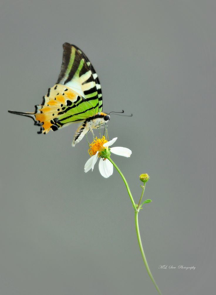 Five Bar Swordtail Butterfly@