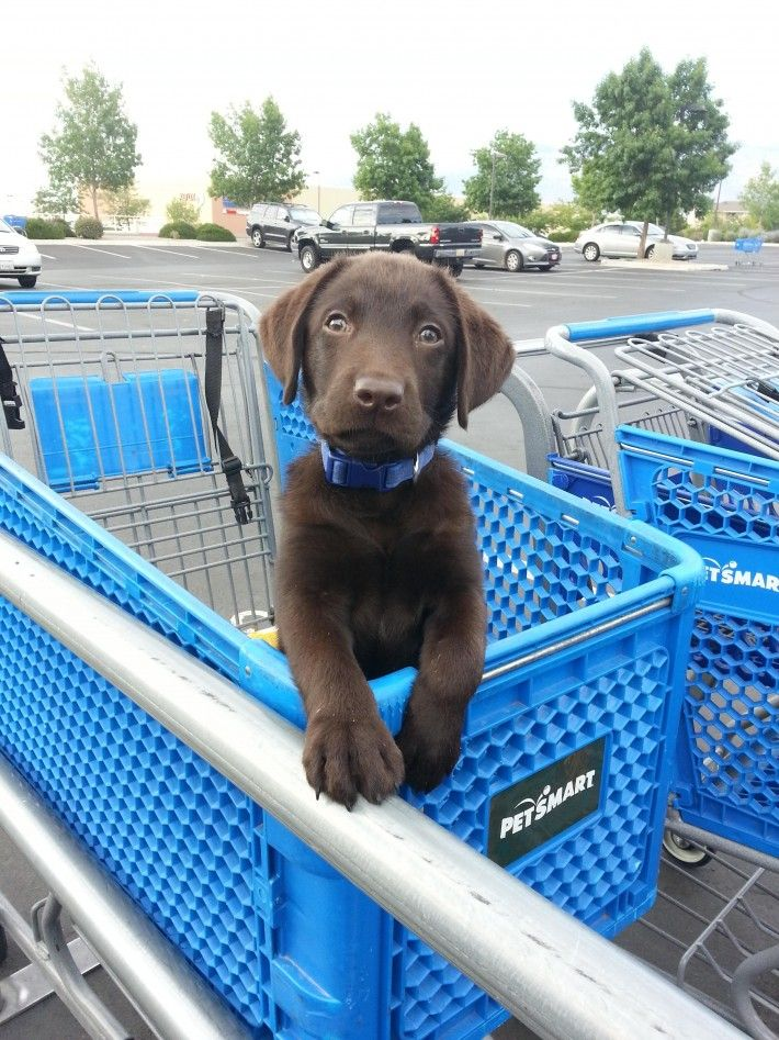 Cute chocolate lab puppy                                                                                                                                                                                 More