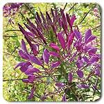 Violet Queen Cleome. These were bonus seeds. They have thorny stalk. Needs to go in fridge for 5-10 days before planting.
