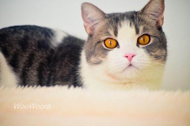patrik, cat, beauty cat, scottish stright, gold eyes, patrik cat, шотландский кот, шотландец прямоухий, красивый кот, патрик, золотые глаза