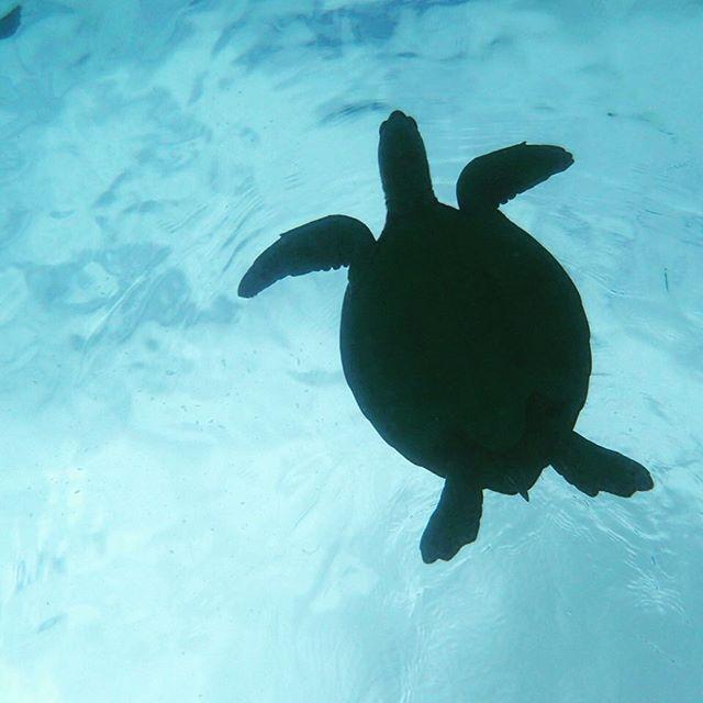 【rumi4596】さんのInstagramをピンしています。 《いつか会った亀さん🐢美味しそうに海藻食べてたね(^^)#奄美大島#海水魚#マリンアクアリウム#海水魚水槽#アクアリウム#海水魚飼育 #アクアリウム#aquarium》