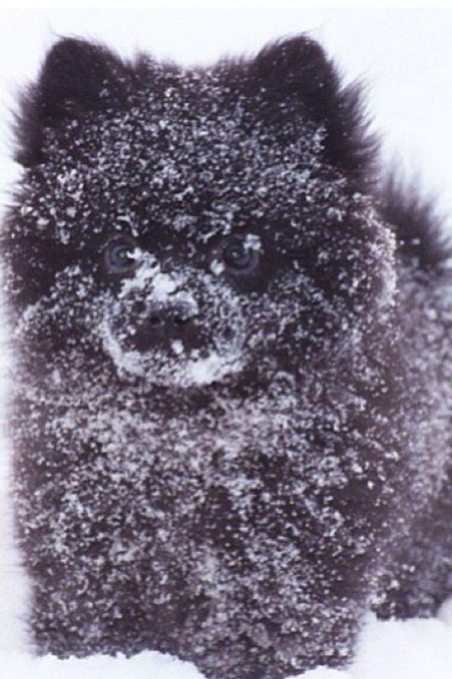 Black snowy Pomeranian
