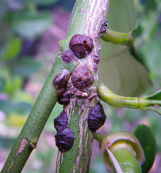 Saissetia oleae, Caparreta o Cochinilla del olivo