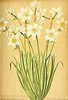 326025 Narcissus poeticus L. var. biflorus / Gartenflora [E. von Regel], vol. 34: t. 1193 (1885)