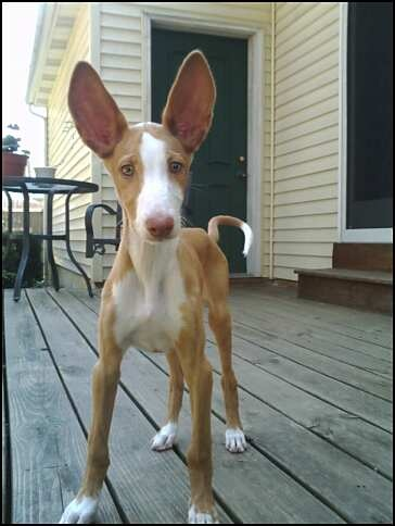 look at the ears on this ibizan hound
