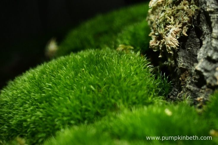 A close up of the moss in my Miniature Orchid BiOrbAir.  Photograph taken on 7th October 2015.