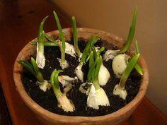 L'ail est l'une des meilleures plantes à faire pousser à la maison. C'est vraiment facile et pas cher. Vous pouvez ne pas aimer son goût, mais manger une tête d'ail par jourfait vraiment des miracles pour votre corps. L'ail est un aliment simple qui offre de puissantes propriétés curatives. L'ail est riche en substances azotées, …