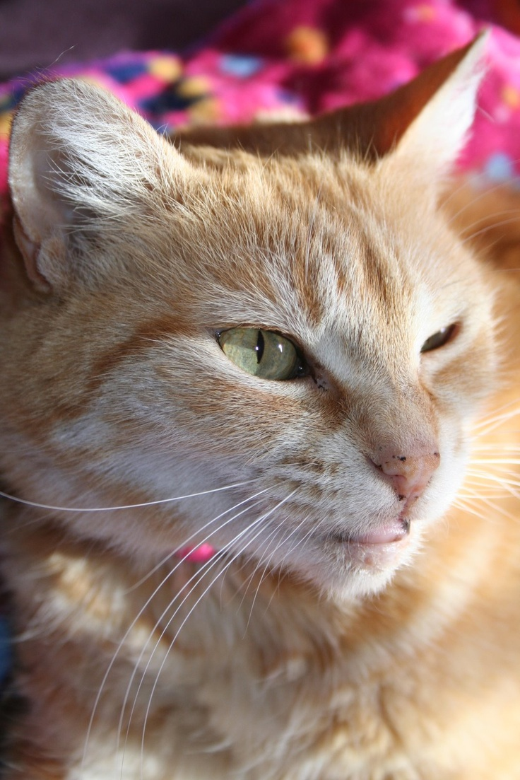 Pin by Debbie F. on Animals Abound Ginger cats, Orange