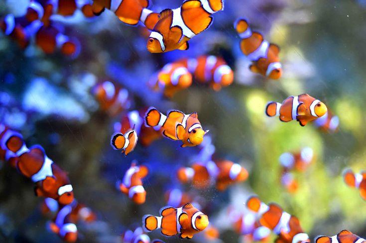Dans l'aquarium du Croisic, les poissons-clowns colorent les eaux.