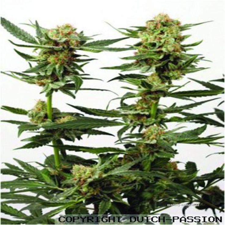 Orgeta indica je konopí se značnými léčivými účinky. kořeny tohoto konopného hybridu sahají až do 70. let. za tu dobu si získal mnoho příznivců a pravidelncýh konzumentů. Má zvláštní jemně kořeněné aroma a pro svou chuť se hodí k tabáku. Má středně silný, stabilní High účinek. Jako většina odrůd indica je vhodná před spaním.