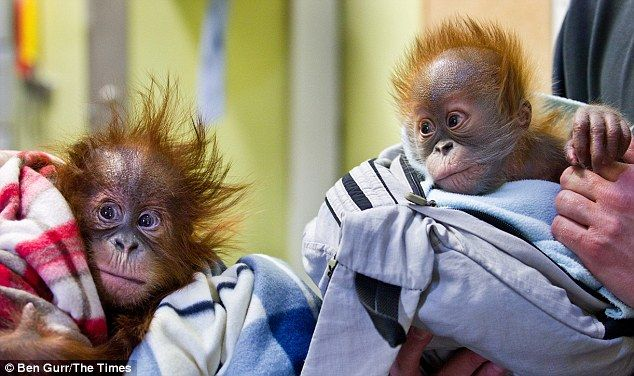 New hope: She is now being transferred to Monkey World in Dorset that houses a tribe of 18...