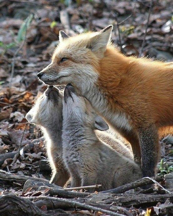 fox pups and sweet mama