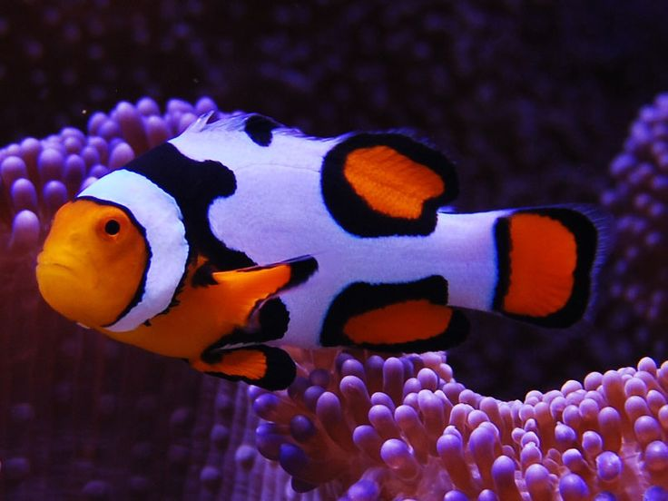 Snowflake clownfish offering for sale the offspring for Clown fish for sale