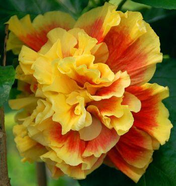 Hibiscus 'Samba Dancer'