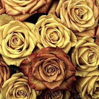 Růže, Květina, Láska, Červená