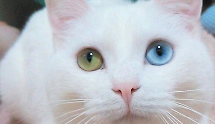 写真大好き猫ちゃんいつもカメラ目線バッチリなオッドアイのしおんちゃん かわいい猫 猫 子猫
