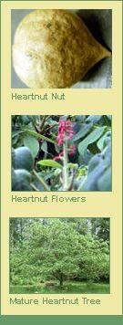 Heartnut Trees | Burnt Ridge Nursery