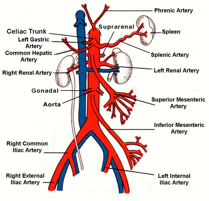 Abdominal arteries and veins