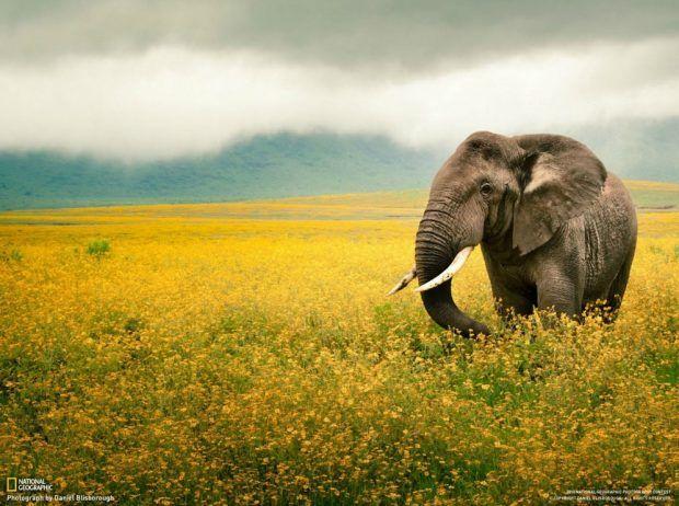 beautiful elephant in a yellow flower field