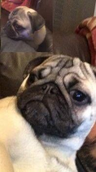 Troy Is a Fawn With Black Mask & Ears Male Pug (Age: Young Adult) Missing from Ribbleton, Preston, PR2 area, (North West) on Saturday, 23rd April 2016 Troy has gone missing from his home. He is 9 months old and micro-chipped. REWARD for safe return. There have been no sightings of him and he mayRead More