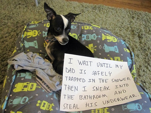 seriously, this is just wrong!  bad puppy!  you know underwear are one of the top 10 things that dogs have to have surgically removed from their stomach/intestines! http://pinterest.com/pin/240590805064920186/  keep your underwear away from dogs- cuz how embarrassing would that be to have to have your vet remove them?