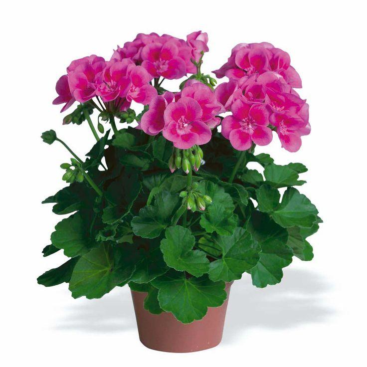 Martha Washington Geraniums Care: Mini Pig Toxic Food & Plants