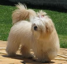 """http://obedient-dog.net/dog-breeds/lhasa-apso-training-secrets.html   If you want to know how to train a Lhasa Apso, your best solution is the new """"Lhasa Apso Training Secrets"""" eBook. With the """"Lhasa Apso Training Secrets"""" you will learn how to train a Lhasa Apso. If you know how to train a Lhasa Apso your dog will obey all your rules."""