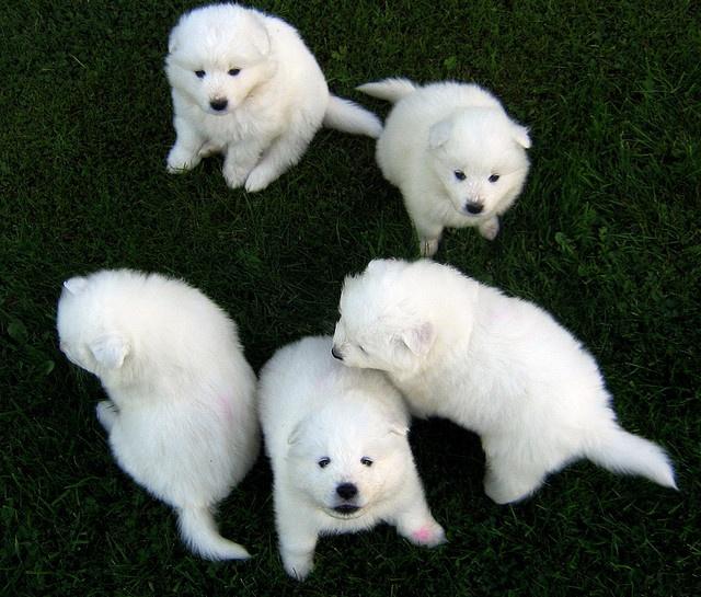 baby samoyeds! i want all of them