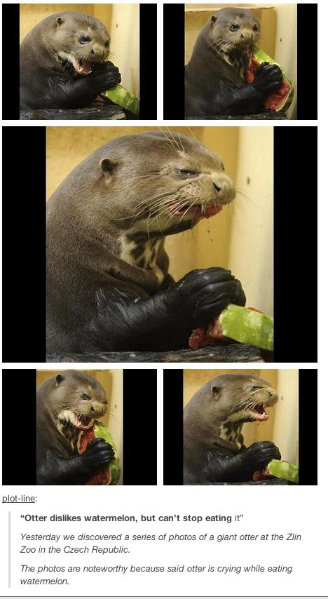 This otter eating a watermelon and hating it. | 19 Things You Should Look At… #funnypics #funny #lol