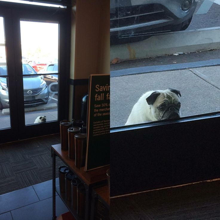 Pug waiting for his owner outside of a coffee shop.