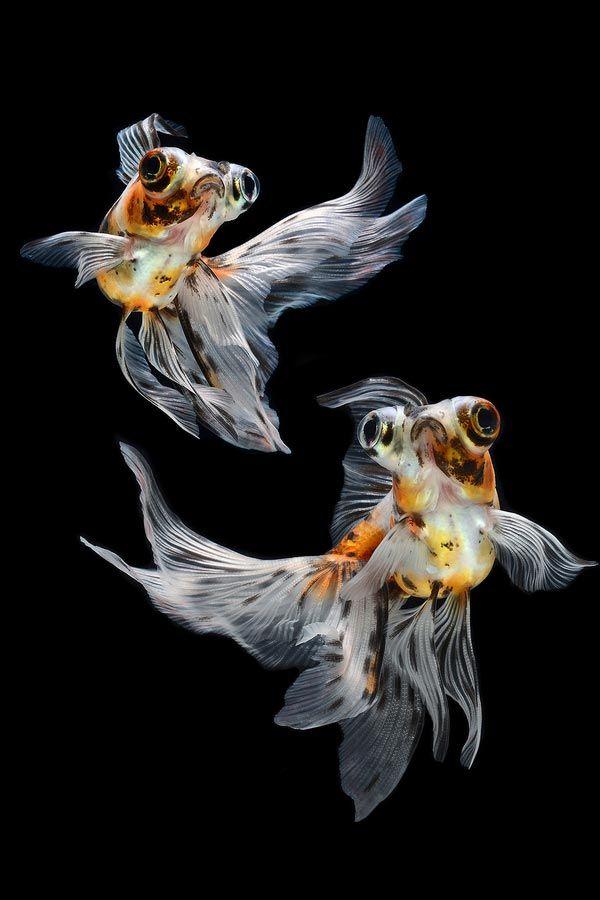 Telescope (Gold Fish)