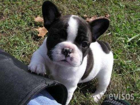 Francés cachorros bulldog gartis  ofrecemos unas prometedoras cachorros de bulldog francés de padres tituladas. Cachorro de bulldog ...  http://ciudad-juarez.evisos.com.mx/frances-cachorros-bulldog-gartis-id-593918
