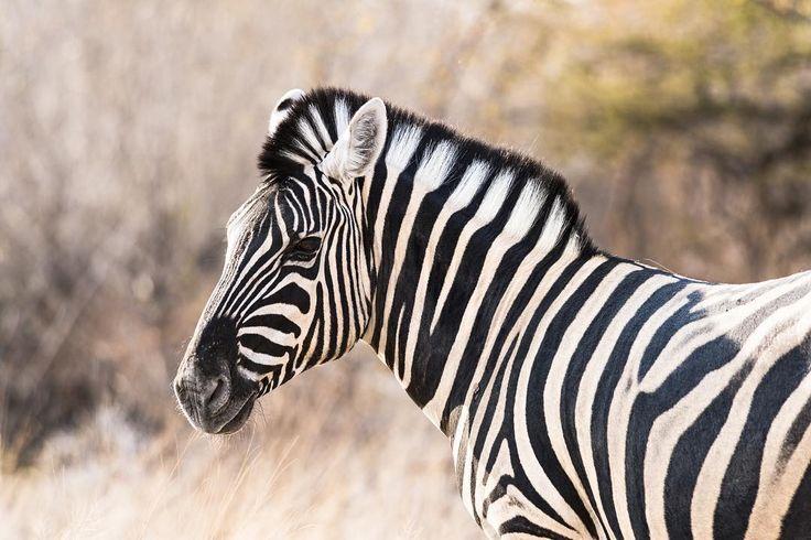 Nessun animale ha un manto più caratteristico di quello della zebra. Strisce bianche e nere sono dipinte sul loro corpo e come fossero impronte digitali si differenziano da zebra a zebra. - No animal has a much more distinctive fleece than the zebra one. White and black stripes painted on their body are different from zebra to zebra as they were true fingerprints. - Ethosa National Park Namibia. - #reportage #ethnologies #travel #beautiful #landscape #photooftheday #natgeo #natgeotravelpic…