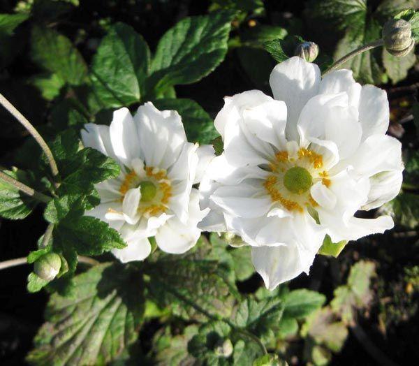 Anemone japonica Whirlwind  80-100СМ   -29 Цветки полумахровые, снежно-белые.