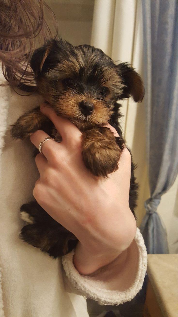Theo a Yorkie Posh pup yorkieposh.com