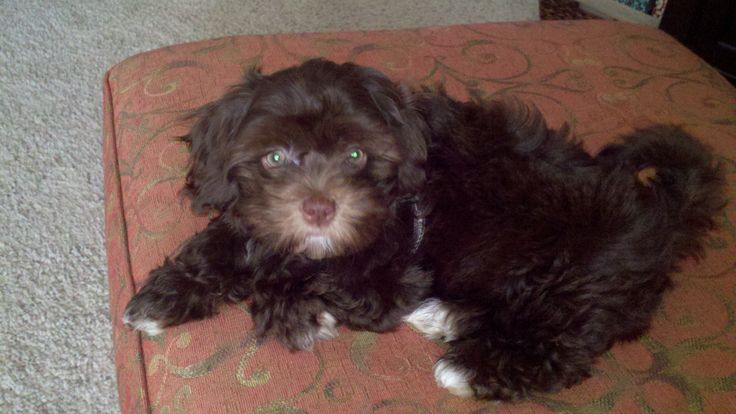My chocolate brown, tuxedo coat Maltipoo as a puppy ...