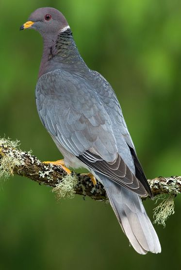 Band-tailed Pigeon (Patagioenas fasciata) North America, from British Columbia thru the United States, Mexico and into Central America