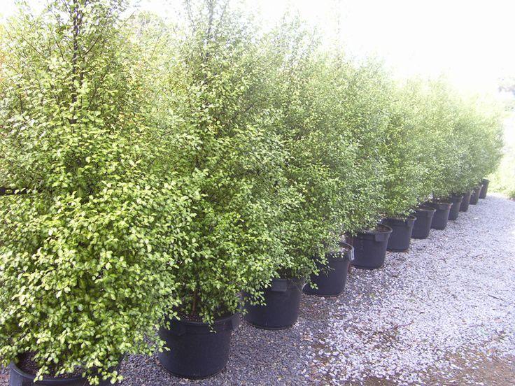 Pittosporum tenuifolium 'Sunburst' / Library − Speciality Trees