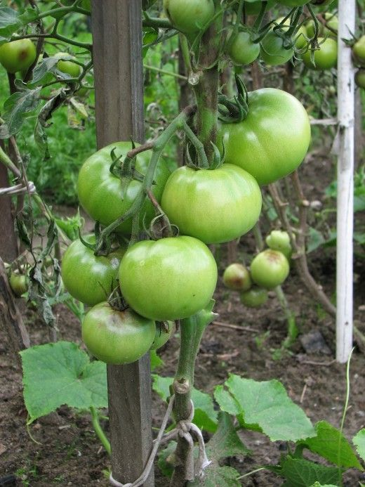 Homegrown tomatoes can be very prolific. It pays to reduce the flowers so that the ones you harvest are large and fully supported by the plants.
