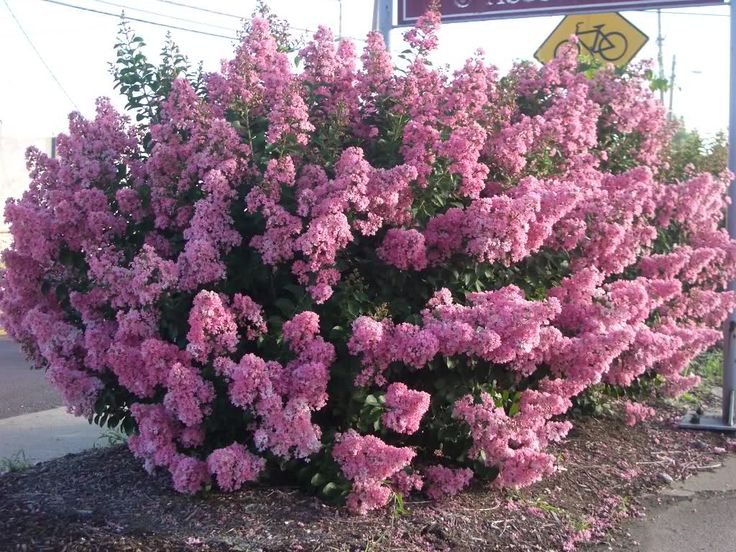 crape myrtle crape myrtles are among the toughest most adaptable and showiest plants that. Black Bedroom Furniture Sets. Home Design Ideas
