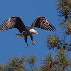 Eagle Nest Cam & Bluebird Cam - Berry College, Eagles - Georgia