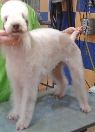 Kutyakozmetika - kutyakozmetikus tanfolyam [Pepita Hirdető]