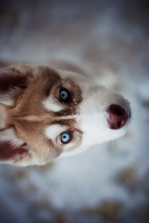 Lucy in the Sky Laced with Diamonds // I love love love love love red huskies. ♥♥♥