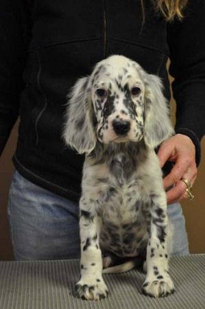 """Click visit site and Check out Best """"English Setter"""" T-shirts. This website is outstanding. Tip: You can search """"your name"""" or """"your favorite shirts"""" at search bar on the top."""