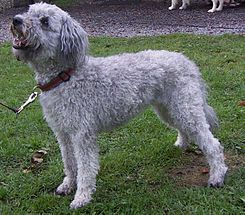 El Pumi es un perro pastor para rebaño, de tamaño medio y tipo terrier originario de Hungría.