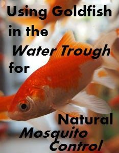 When I first heard about using goldfish in water troughs for mosquito control I assumed it was just a novelty. After all, how could a few tiny fish make a difference? Well I'm here to tell you THEY DO! And they don't require any extra care. It almost sounds too easy, doesn't it?