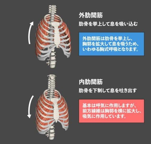 【専門職向け】外肋間筋の呼吸作用 內肋間筋との違い - rehatora ...